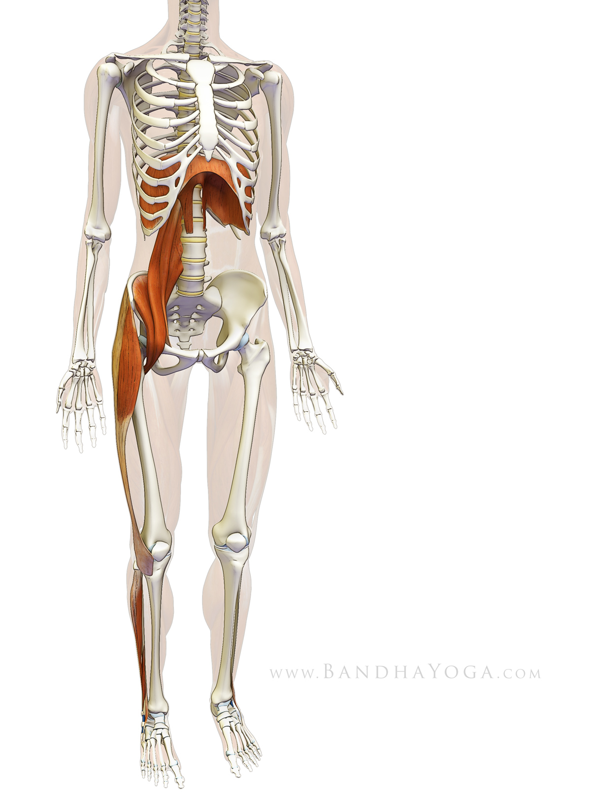 sankalpa visualization and yoga the diaphragm psoas connection