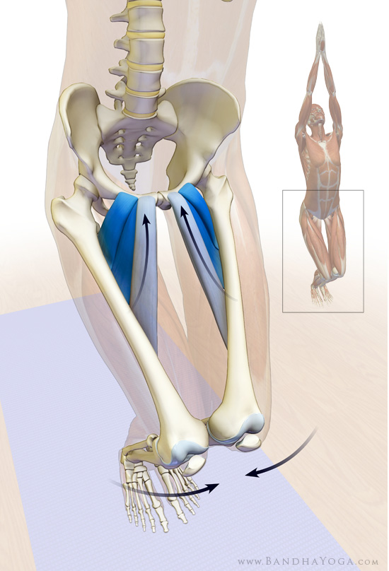 adductor muscles in yoga, synergizers in yoga, coactivating the pectineus, longus, brevis in Utkatasana