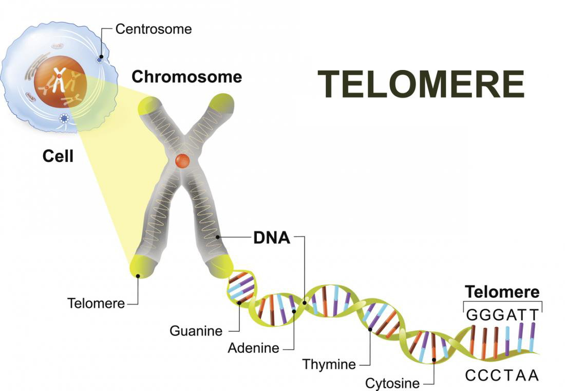 telemores, protecting chromosomes during cell division