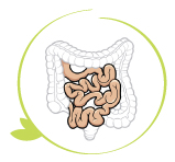 small intestine, second stage of digestion process, digestive and absorption qualities