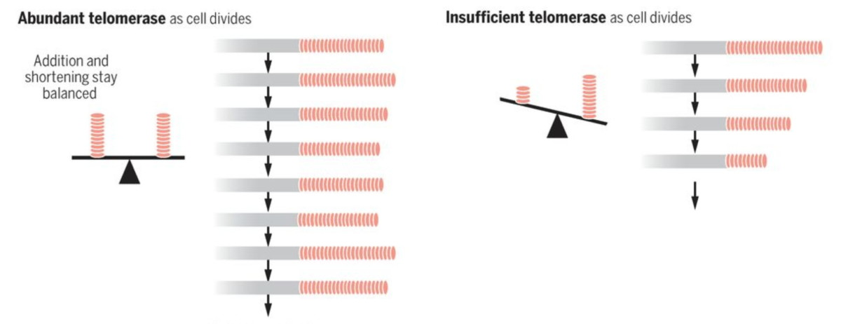 Telomerase, naturally produced telemerase best for Telemore health