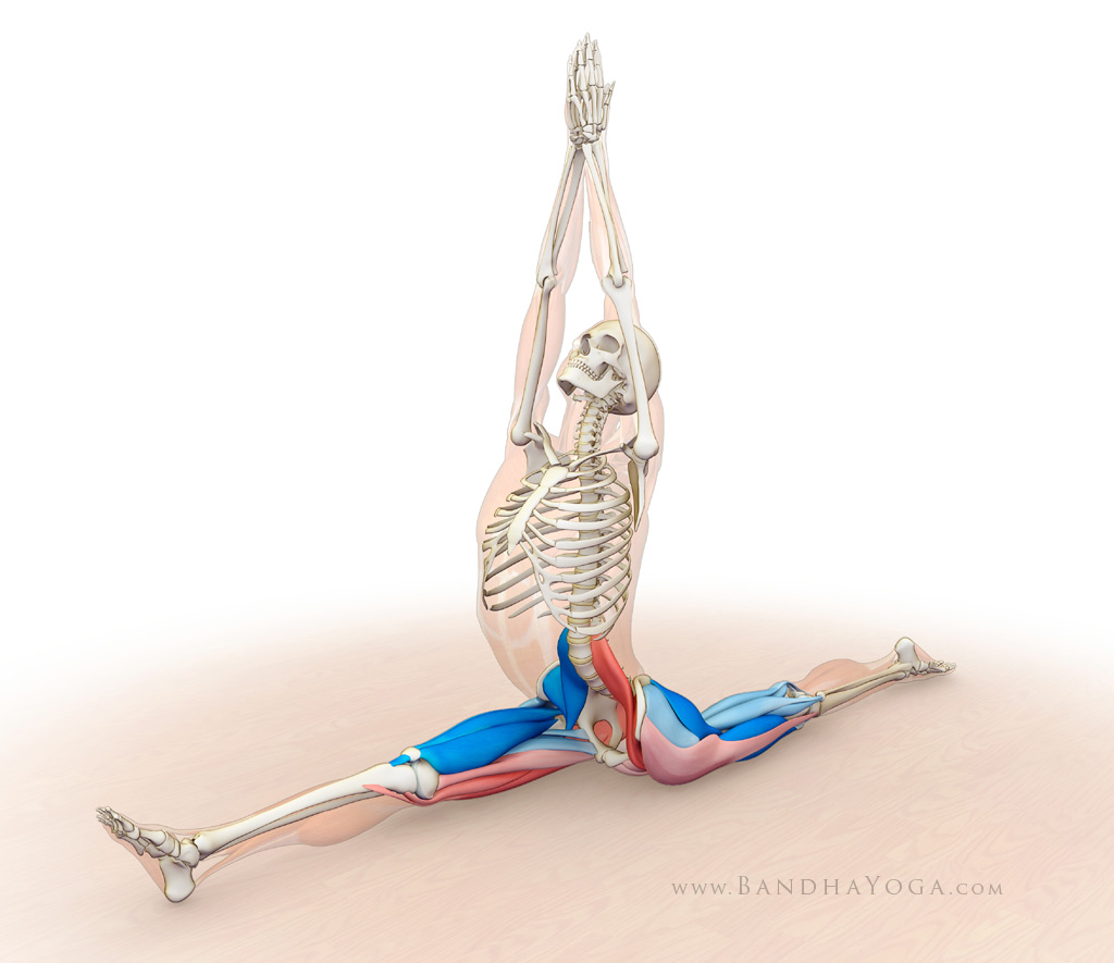 Hanumanasana, Monkey Pose, front splits, muscle memory, agonists and antagonists muscles in Hanumanasana