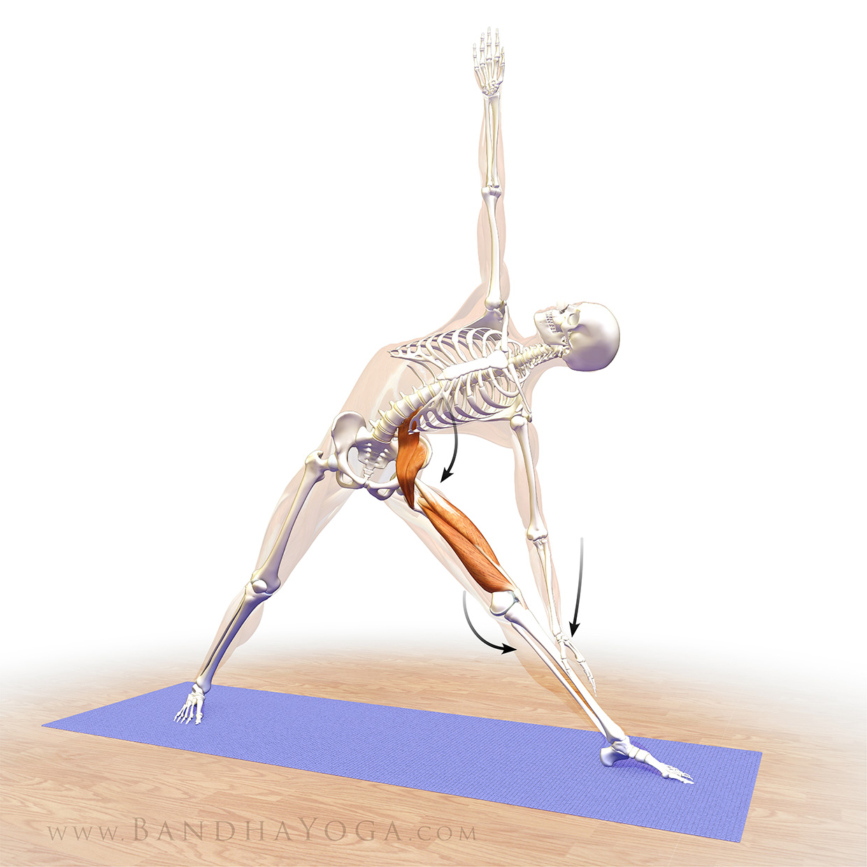 An anatomical illustration of co-activating the psoas and quads in Triangle Pose (Trikonasana) in yoga
