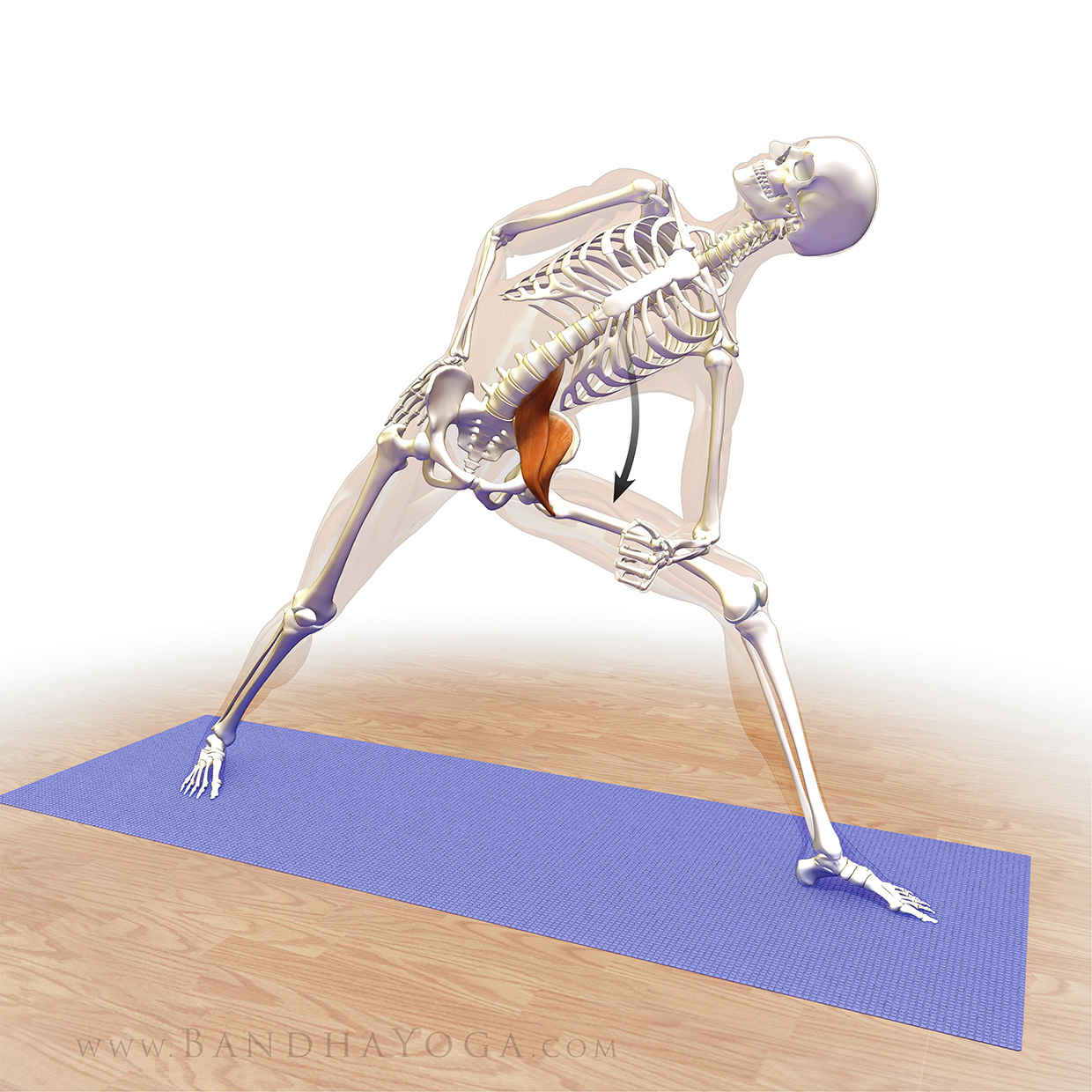 An anatomical illustration of activating your psoas and iliacus in Triangle Pose (Trikonasana) in yoga