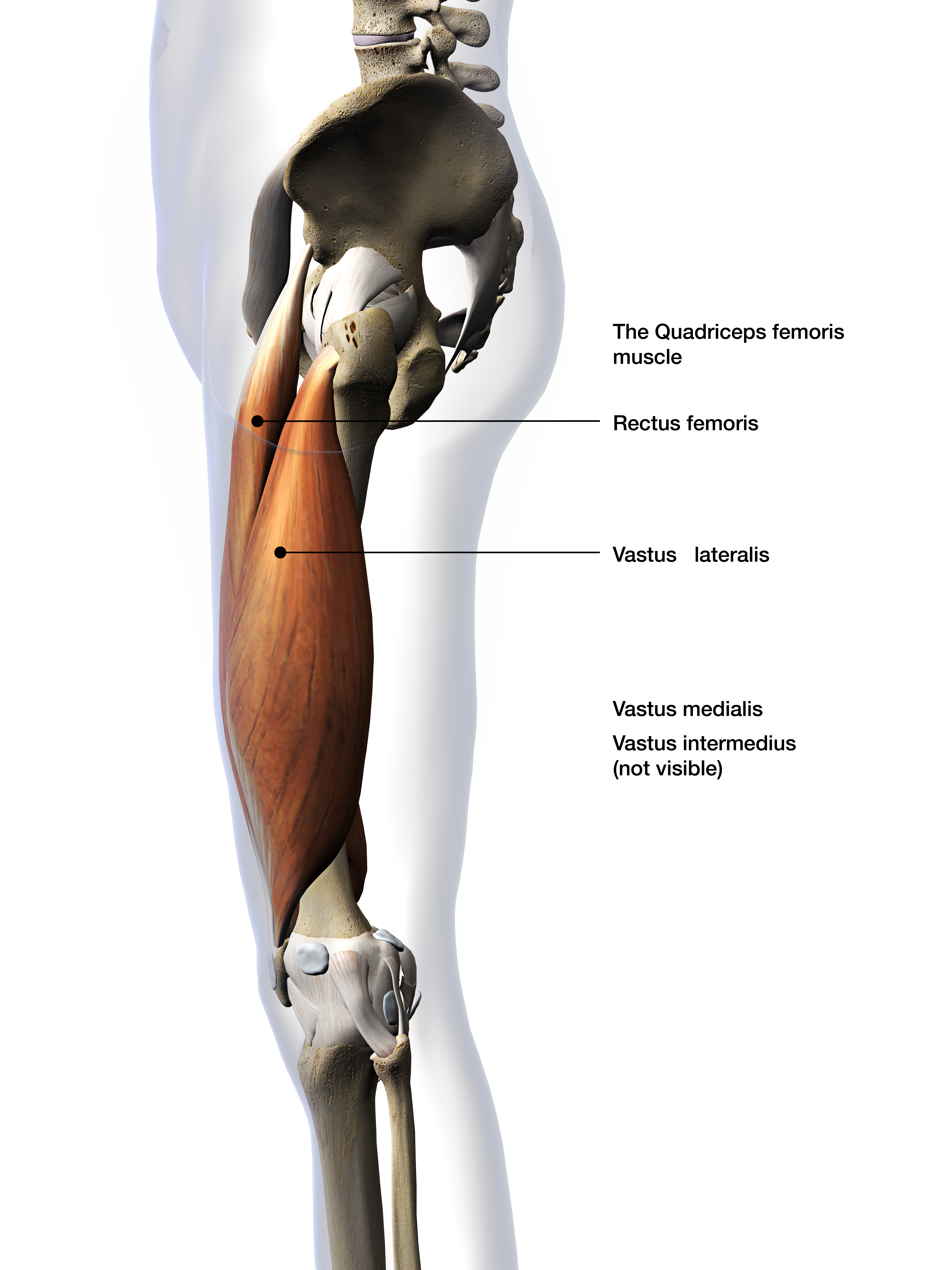 Anatomical view of the quadricep muscle group