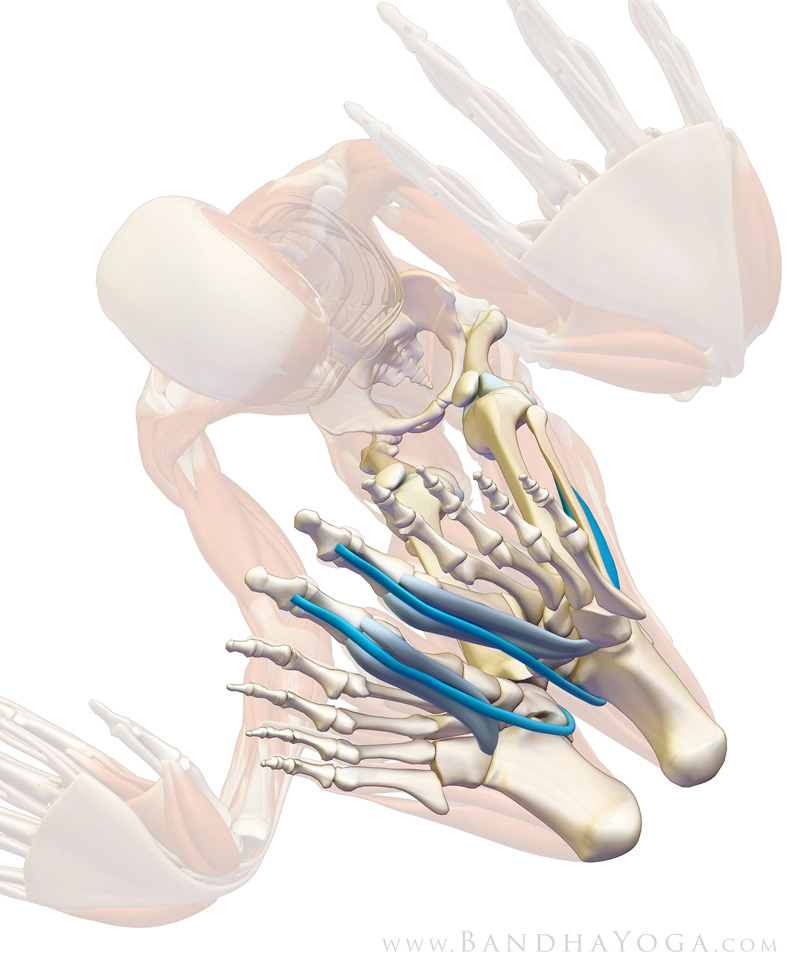 Yoga Anatomy How Your Big Toes Can Strengthen Your Practice
