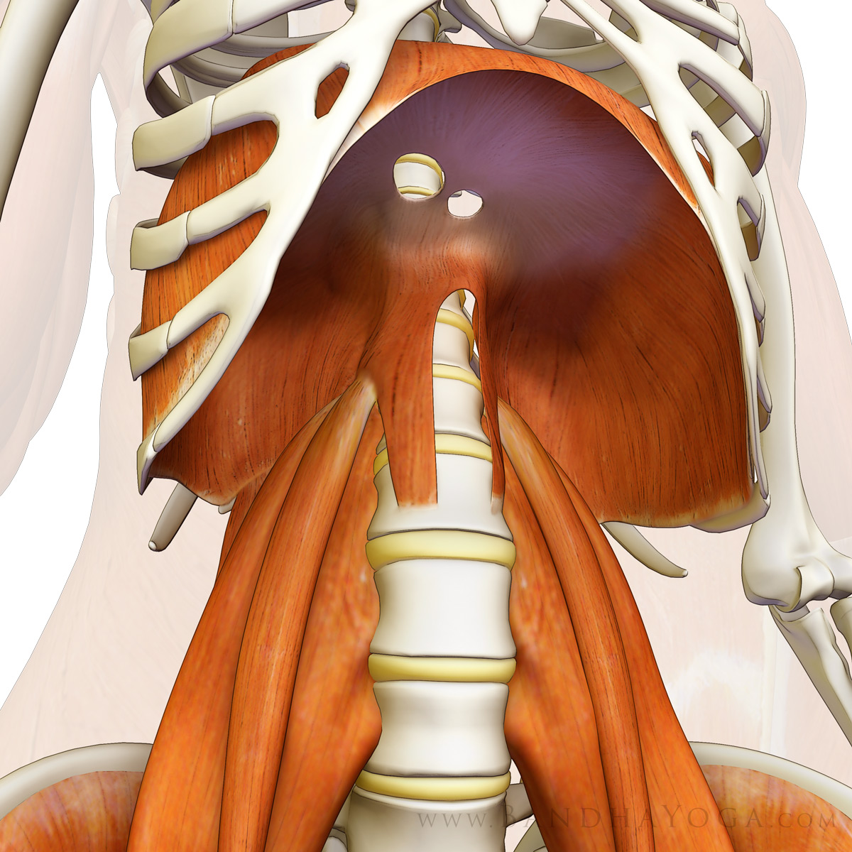 Anatomical diagram of the thoracic diaphragm