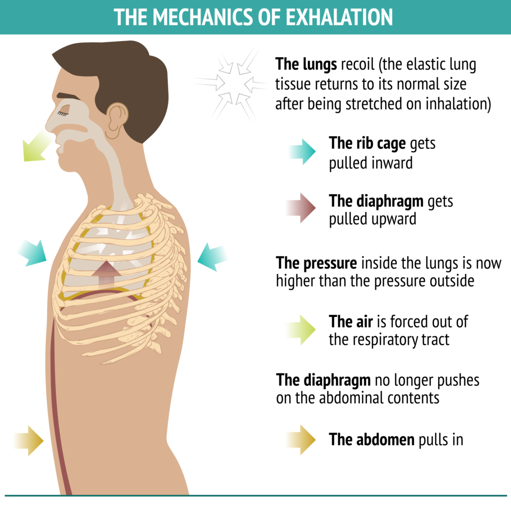 mechanic of exhalation, intentional muscular engagement, lengthening the breath, stability in yoga poses