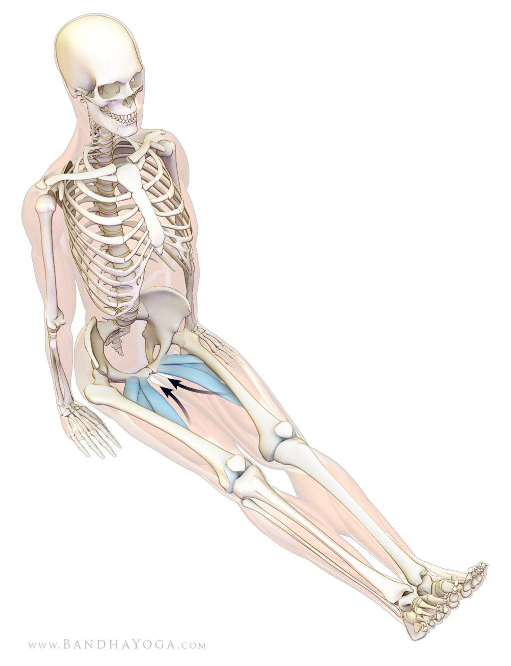 Back Pain Preventative Strategies, adductors longus, brevis, pectineus in Dandasana, staff pose