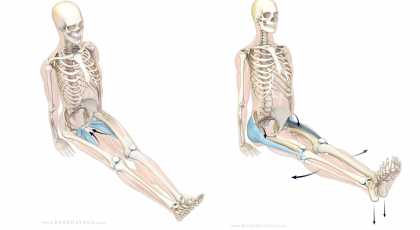 Anatomical drawing of person practicing yoga dandasana staff pose.