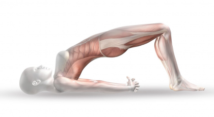 yoga anatomy picture of bridge pose