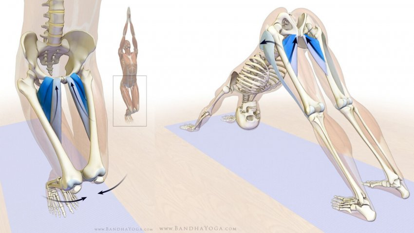 Yoga Anatomy: The Adductor Muscles in Downward Facing Dog ...