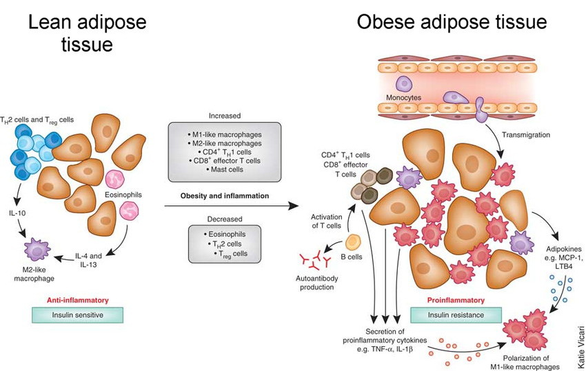 adipose tissue, the immune system, inflammation vs. anti inflammatory, pathogens and pathogen protection