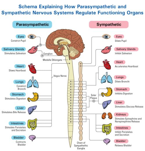 Vagus nerve, anatomy, yoga and anatomy, role of vagus nerve and staying healthy